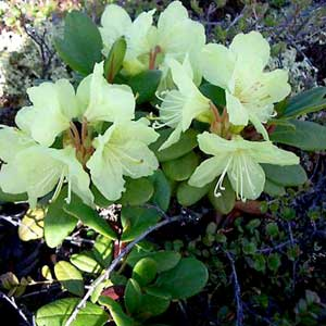 Rhododendron aureum Georgi. / Rododendrons zeltains